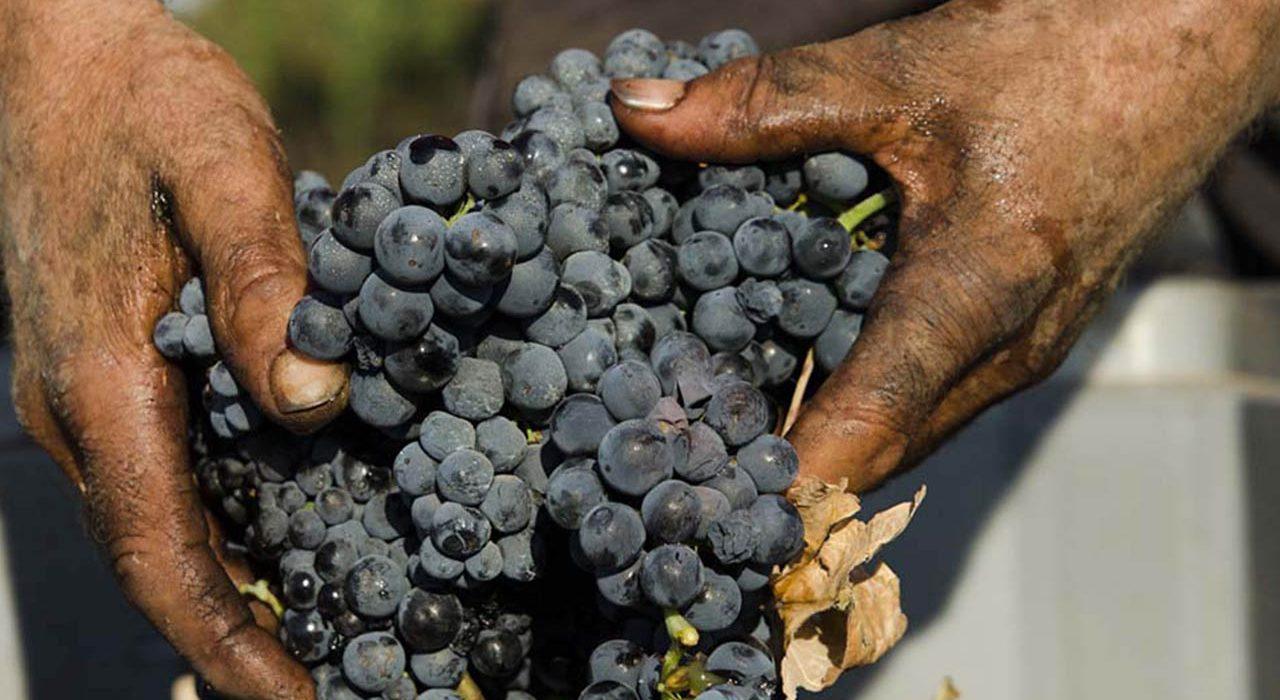 primitivo di Manduria, uva